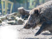 Wildschwein Wildpark Müden