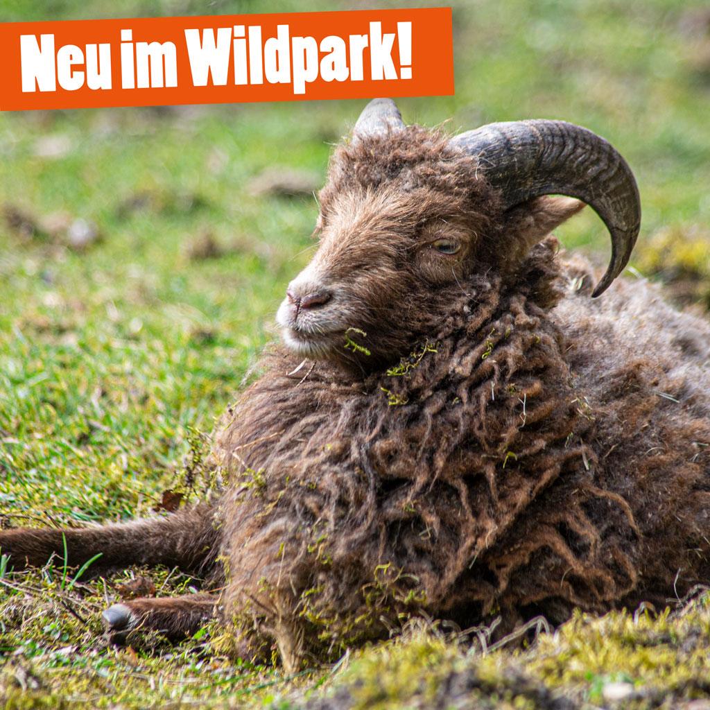 Ouessantschafe im Wildpark Müden