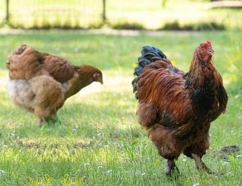 Brahma Hühner